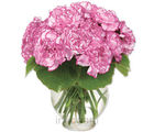 Carnation Magic (Carnations)